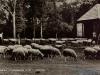 schapen-45-1961