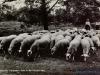 schapen-46-13-09-1962