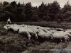 schapen-48-1962