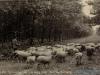 schapen-51